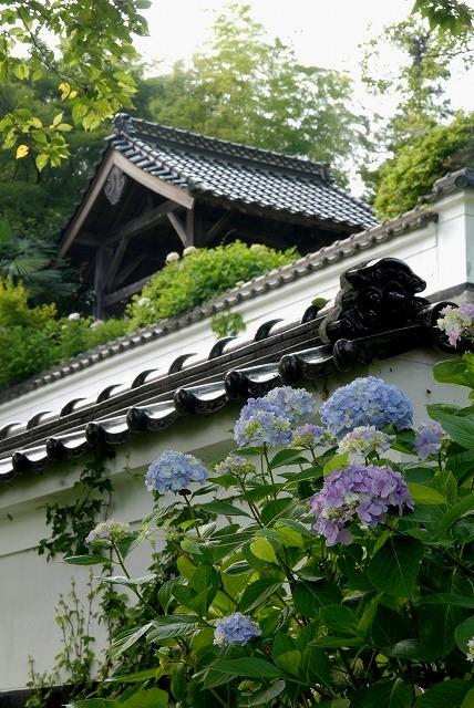 長法寺の紫陽花8