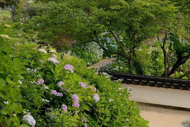 長法寺の紫陽花10