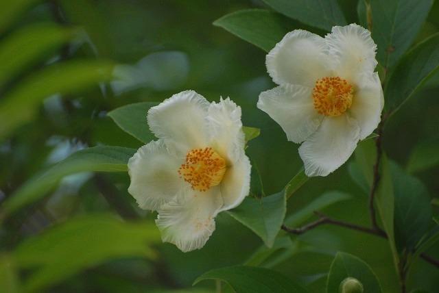 沙羅の花3