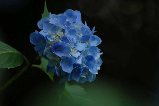 普門寺の紫陽花5