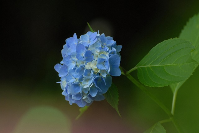 普門寺の紫陽花6