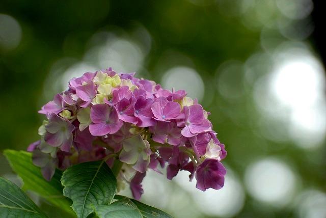 普門寺の紫陽花9