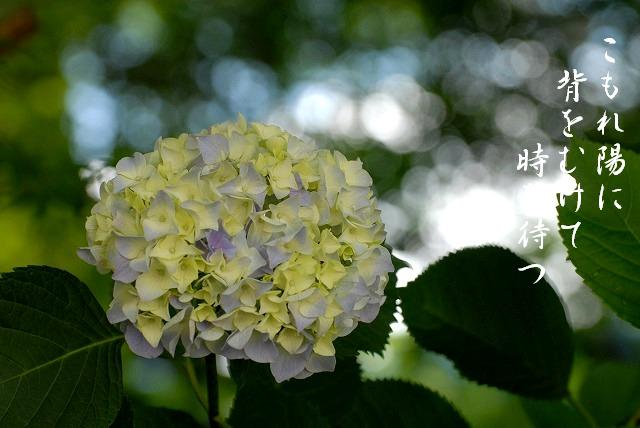 普門寺の紫陽花10
