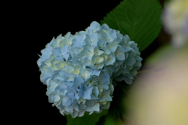 普門寺の紫陽花11