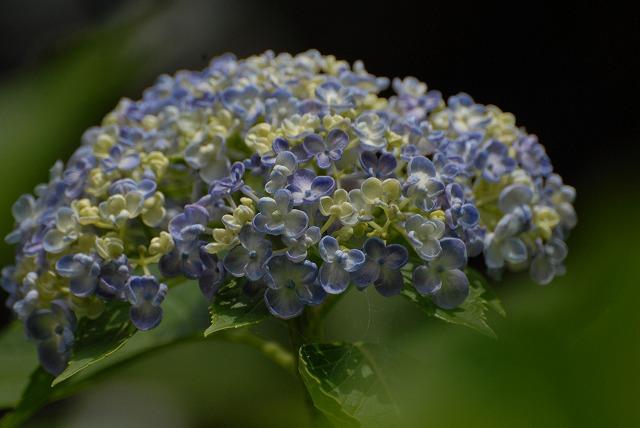 普門寺の紫陽花13