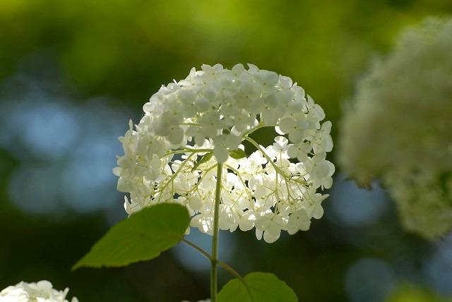 普門寺の紫陽花15