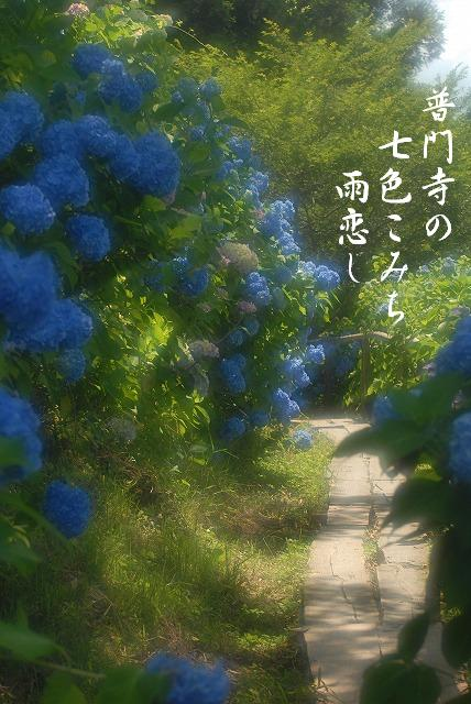 普門寺の紫陽花17