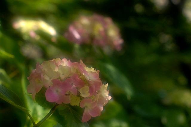 普門寺の紫陽花18