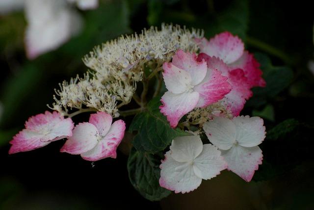 普門寺の紫陽花20