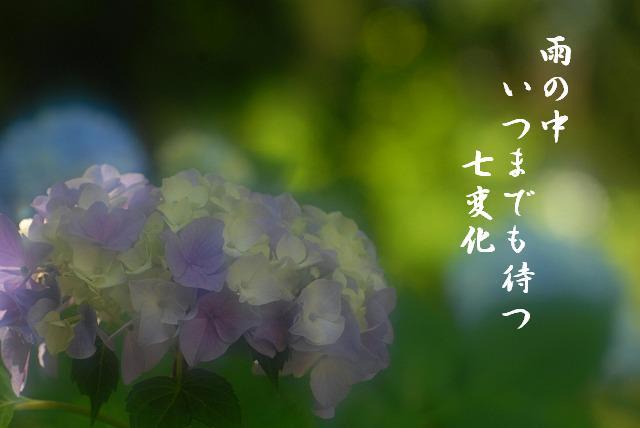 普門寺の紫陽花21