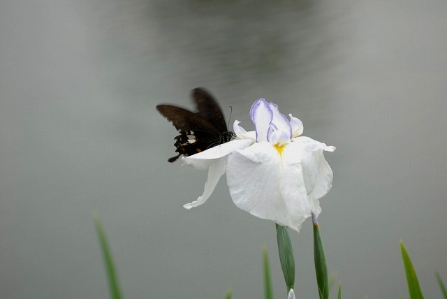 花菖蒲と蝶