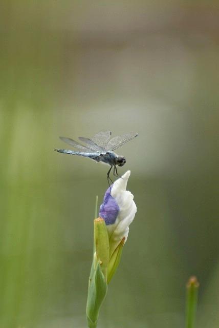 花菖蒲の蕾とシオカラトンボ