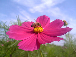 250px-Cosmos_and_bee.jpg