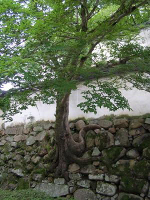 岡山城の木