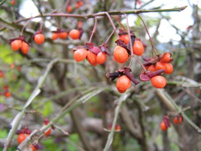 赤い実剃刀木