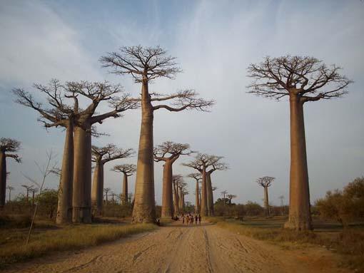 baobabu4.jpg