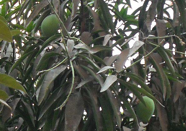 窓からマンゴー