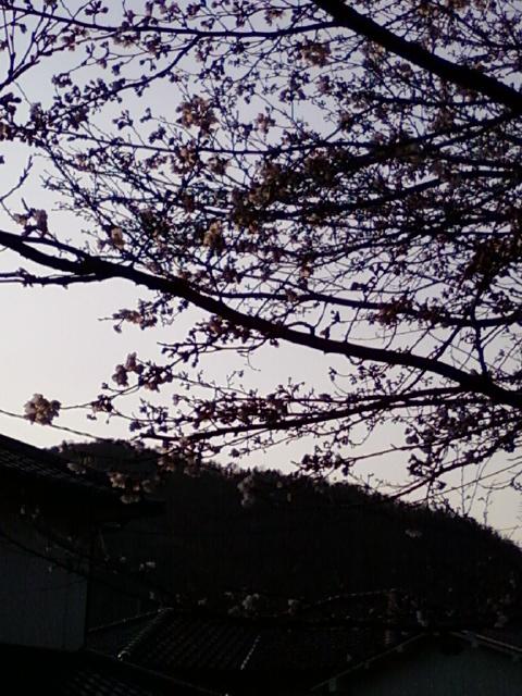 12040804sakura.jpg