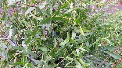 Eucalyptus1_20111030224438.jpg