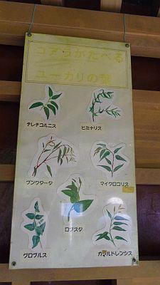 Eucalyptus2_20111030224438.jpg