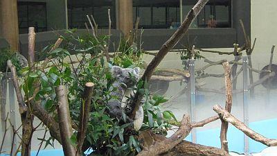 coala.jpg