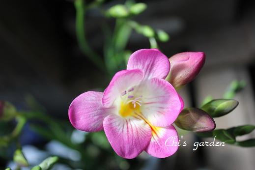 フリージア・ピンク(開花)