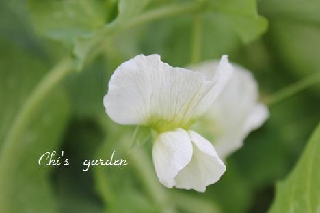 グリンピースの花