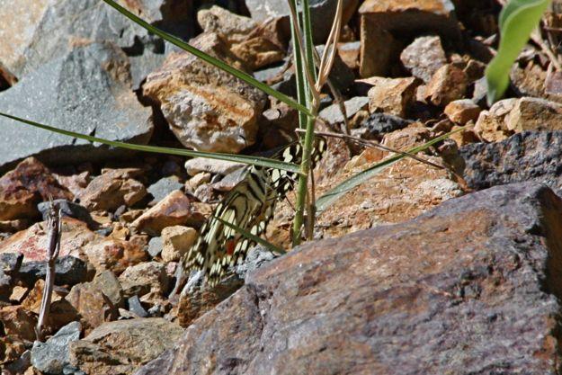 0407ChequeredSwallowtail.jpg