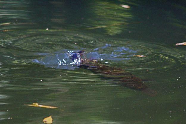2406カモノハシ潜水
