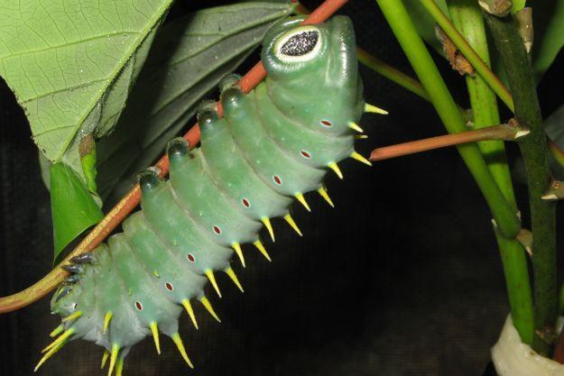 2506ヘラクレス蛾幼虫