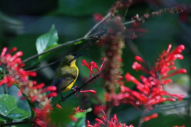 2606YellowBelliedSunbird♀