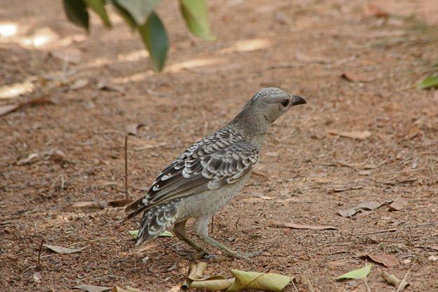 2606オオニワシドリ幼鳥メス