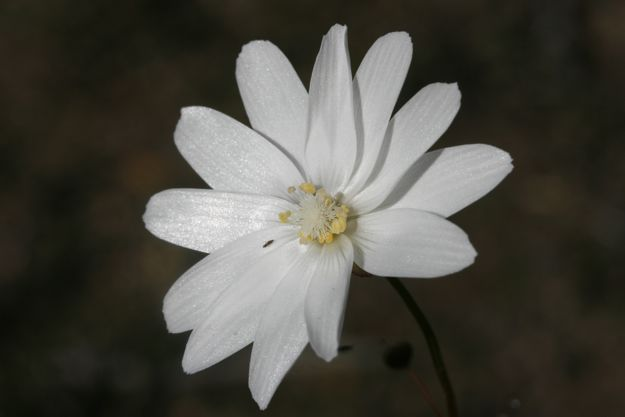 0108Dheterophylla花
