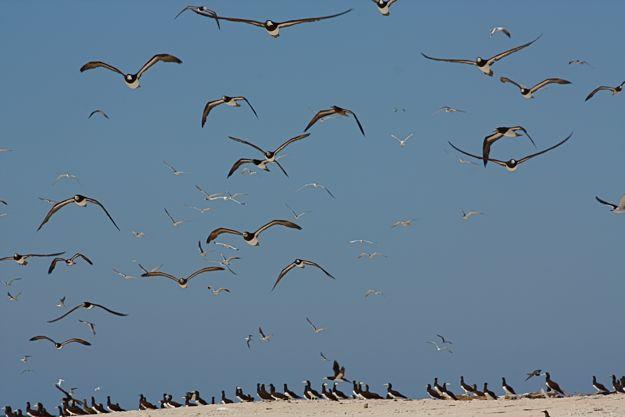 2706オーストラリアカツオドリ群