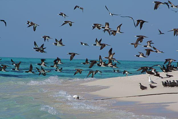 2706オーストラリアカツオドリ群2