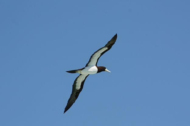2706オーストラリアカツオドリ飛翔