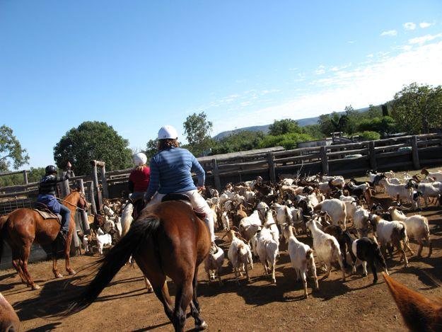 0807馬ヤギ追い囲
