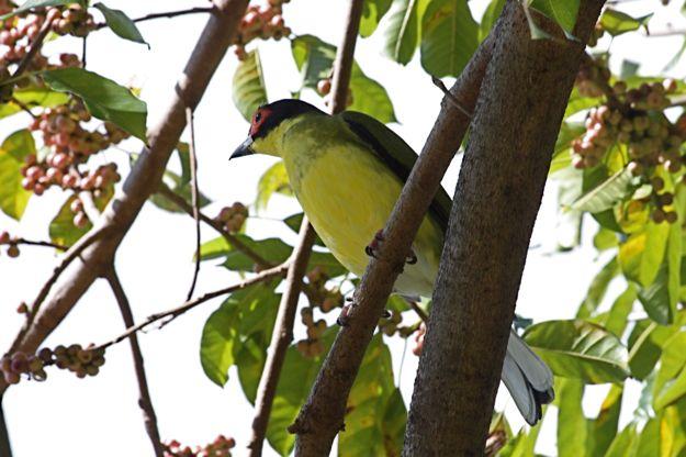 2906AustralianFigbird.jpg