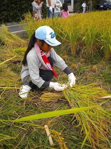s-稲刈り8