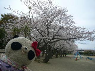 横須賀も満開ですよ~