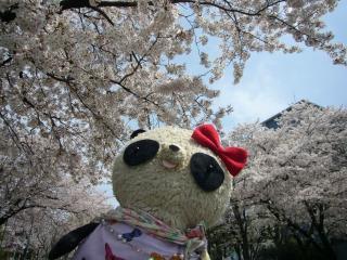 満開の桜です