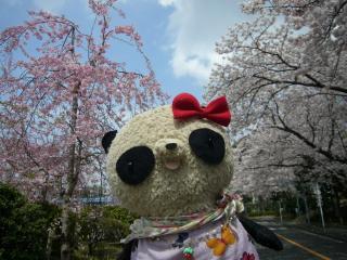 枝垂れ桜と染井吉野とスターおばぶ