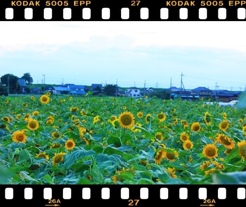 090729向日葵畑