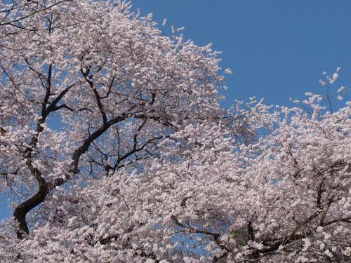 細野の彼岸桜