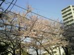 sakura_110410_01.jpg