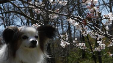 パピと桜2012.4.8