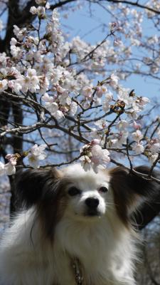 パピと桜2012.4.8-1