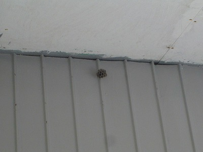 アシナガバチ (6)