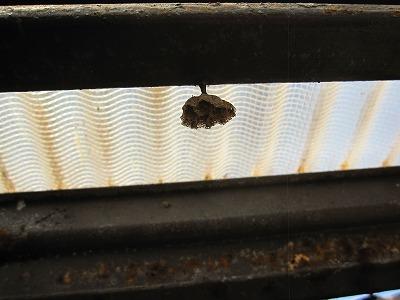 アシナガバチ (4)