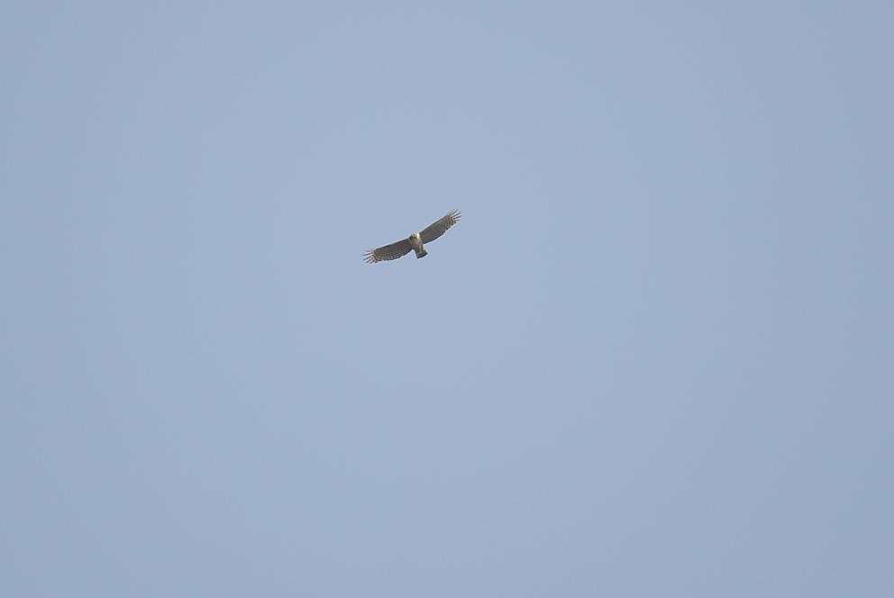 _DSC7284_クマタカ幼鳥.jpg